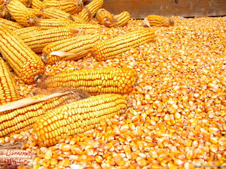 Maize flour mill project in kenya a newly flour mill plant there is scope for establishing maize or wheat flour mills plant in important commercial centers in the rural or urban areas voltagebd Image collections